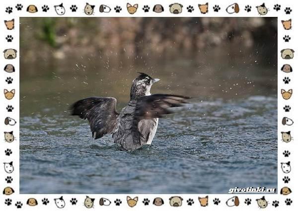 Птица-хохлатый-старик-описание-особенности-и-среда-обитания-2