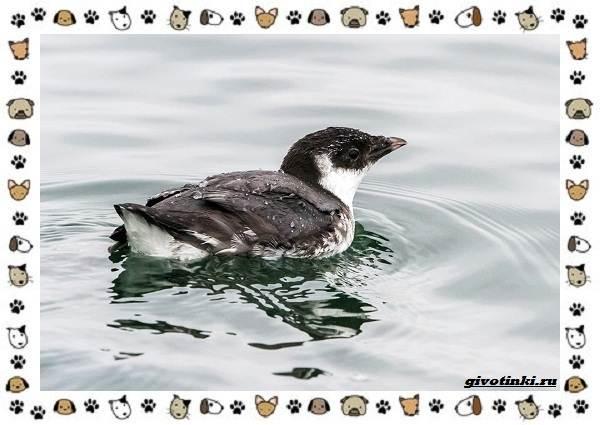 Птица-хохлатый-старик-описание-особенности-и-среда-обитания-3