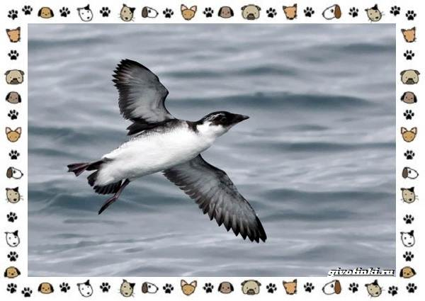 Птица-хохлатый-старик-описание-особенности-и-среда-обитания-4