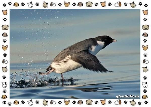Птица-хохлатый-старик-описание-особенности-и-среда-обитания-5