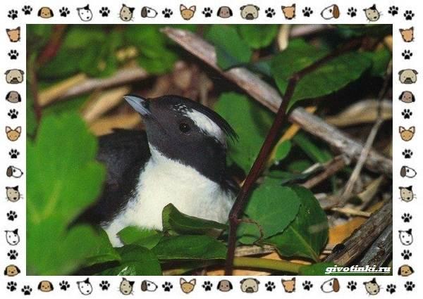 Птица-хохлатый-старик-описание-особенности-и-среда-обитания-7