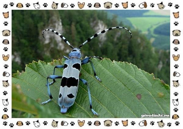 Усач-альпийский-описание-особенности-и-среда-обитания-2