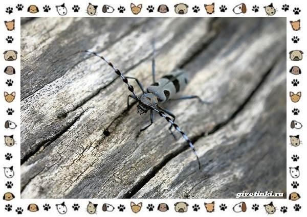 Усач-альпийский-описание-особенности-и-среда-обитания-5
