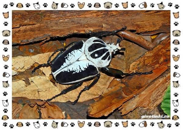 Виды-больших-жуков-стоит-ли-их-бояться-12