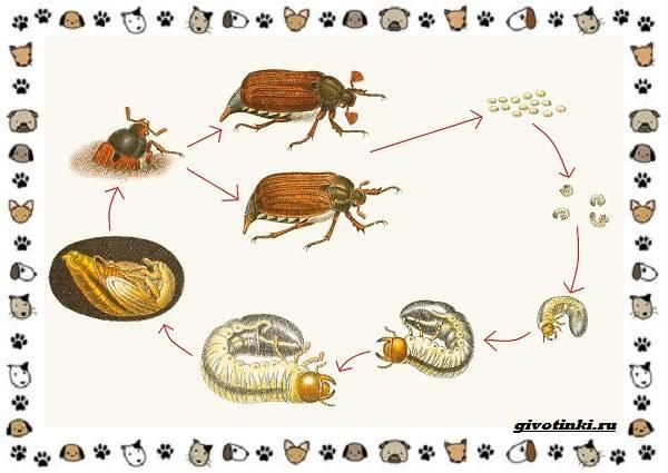 Виды-майских-жуков-образ-жизни-особенности-строения-1