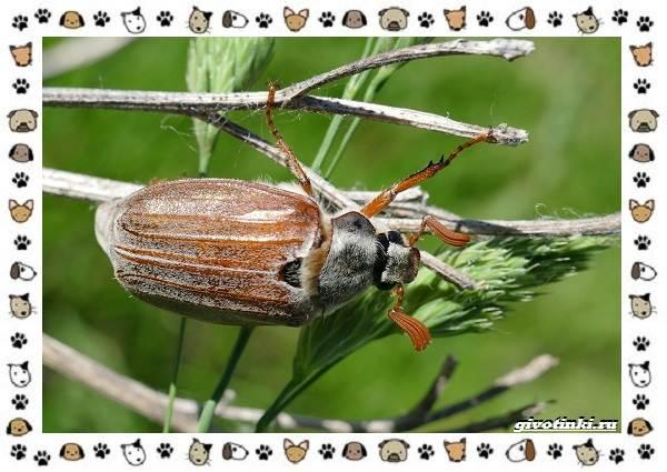 Виды-майских-жуков-образ-жизни-особенности-строения-10