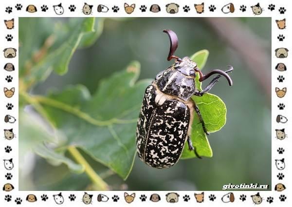 Виды-майских-жуков-образ-жизни-особенности-строения-11
