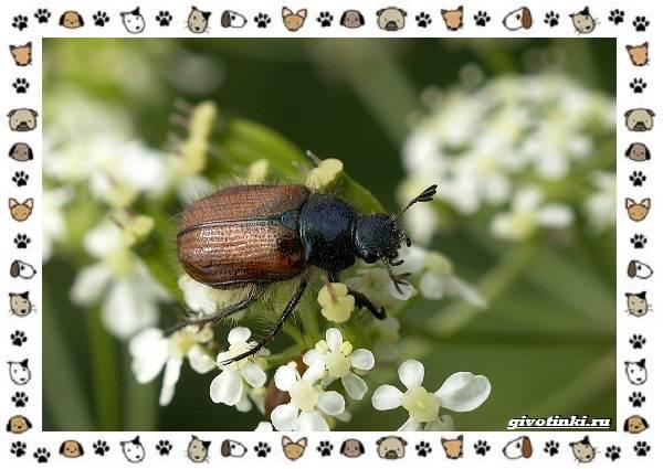 Виды-майских-жуков-образ-жизни-особенности-строения-13