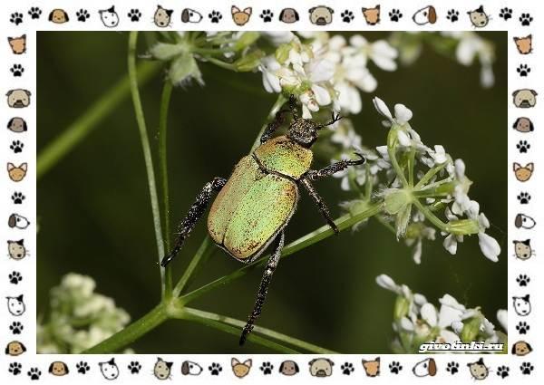 Виды-майских-жуков-образ-жизни-особенности-строения-14