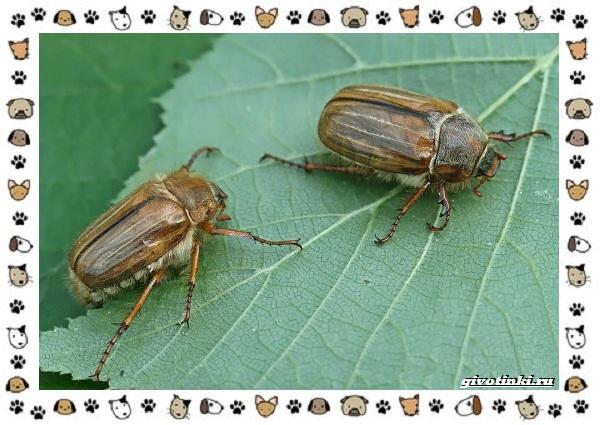 Виды-майских-жуков-образ-жизни-особенности-строения-15