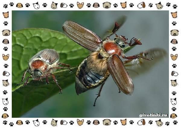 Виды-майских-жуков-образ-жизни-особенности-строения-2