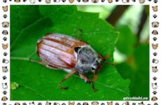 Виды майских жуков: образ жизни, особенности строения