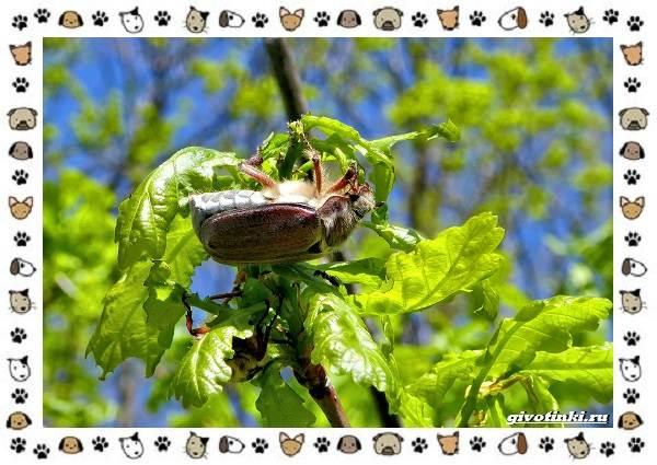 Виды-майских-жуков-образ-жизни-особенности-строения-3