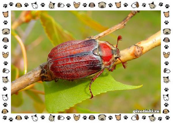 Виды-майских-жуков-образ-жизни-особенности-строения-4