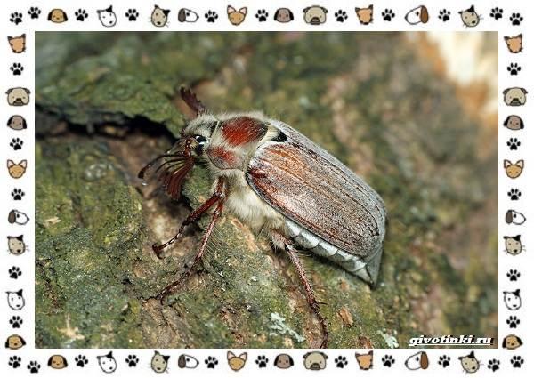Виды-майских-жуков-образ-жизни-особенности-строения-5