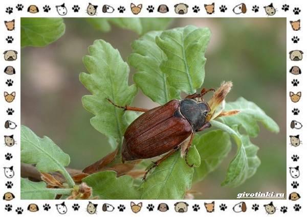 Виды-майских-жуков-образ-жизни-особенности-строения-6
