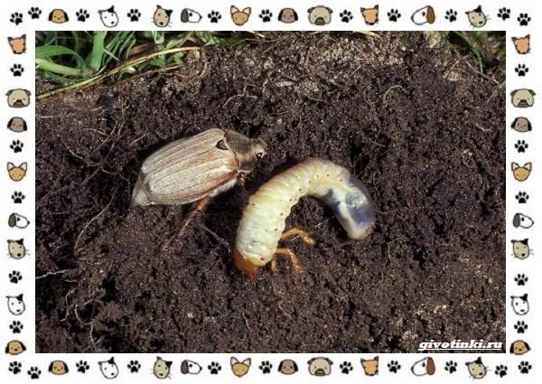 Виды-майских-жуков-образ-жизни-особенности-строения-8