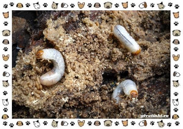 Виды-майских-жуков-образ-жизни-особенности-строения-9