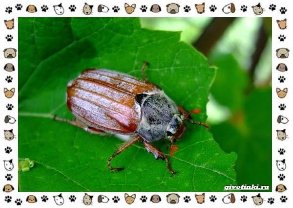 Виды-майских-жуков-образ-жизни-особенности-строения