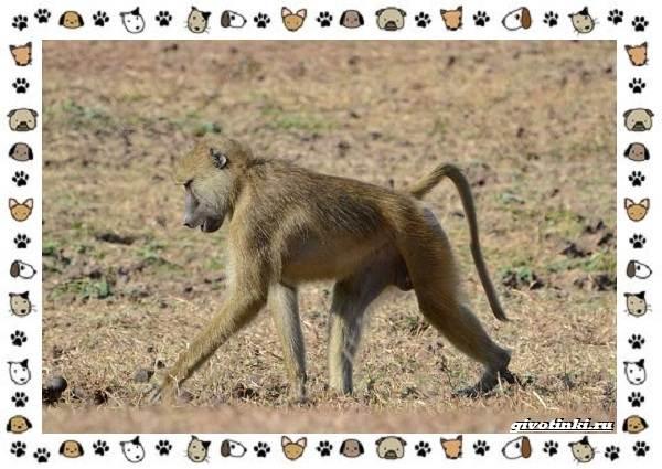 Виды-обезьян-так-ли-они-на-нас-похожи-31