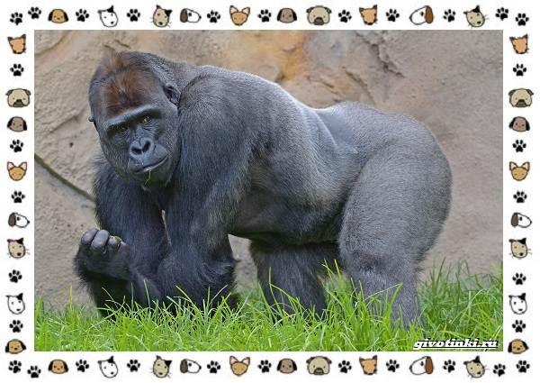 Виды-обезьян-так-ли-они-на-нас-похожи-40