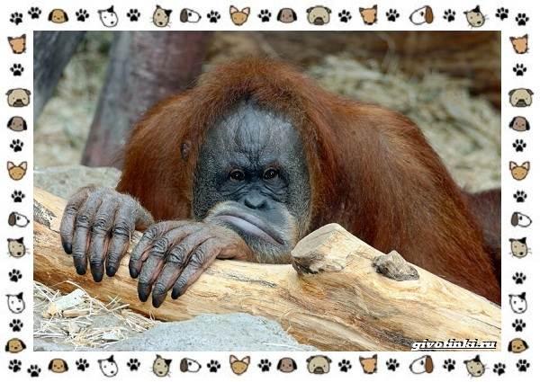 Виды-обезьян-так-ли-они-на-нас-похожи-9