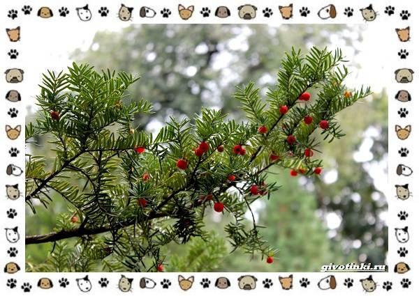 Ядовитые-растения-для-собак-11