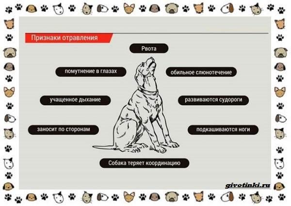 Ядовитые-растения-для-собак-12