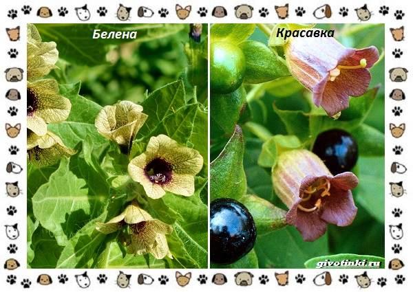 Ядовитые-растения-для-собак-3