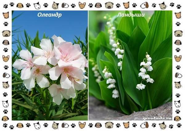 Ядовитые-растения-для-собак-4