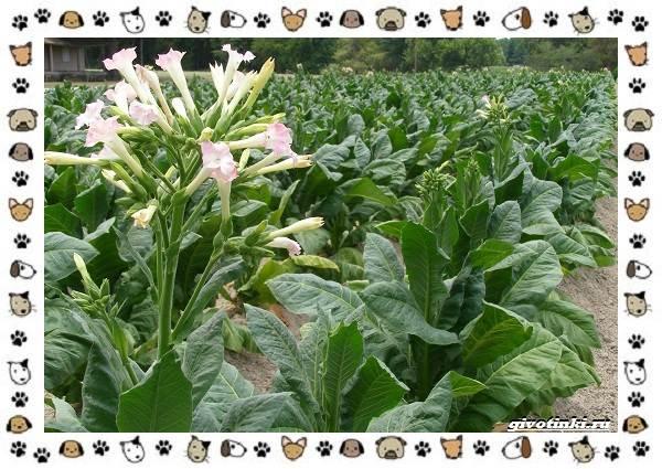 Ядовитые-растения-для-собак-5
