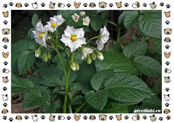 Ядовитые-растения-для-собак-6