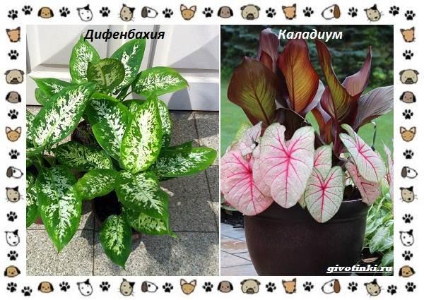 Ядовитые-растения-для-собак-7