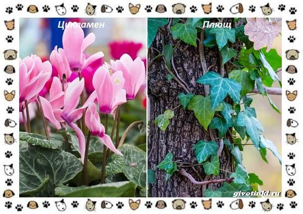 Ядовитые-растения-для-собак-9