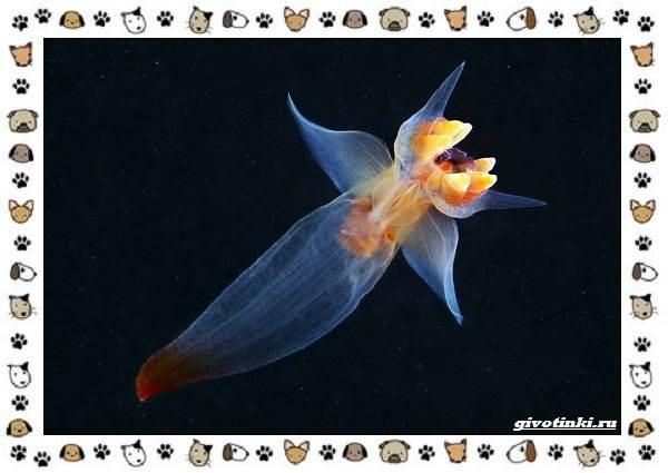 Морской-ангел-моллюск-описание-особенности-и-среда-обитания-1