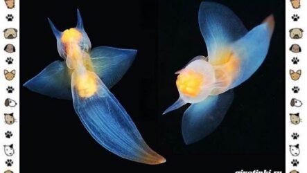 Морской ангел моллюск: описание, особенности и среда обитания