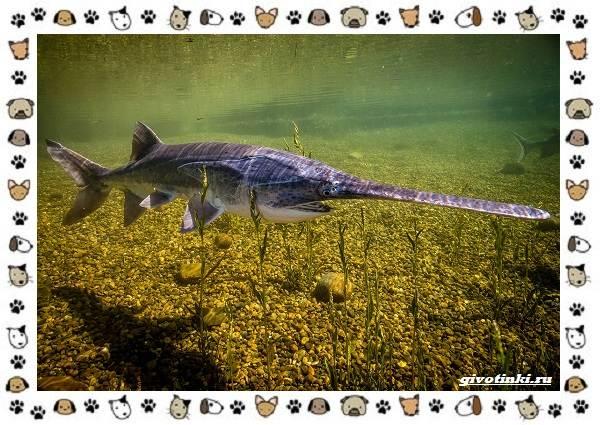 Рыба-веслонос-описание-особенности-и-среда-обитания-2