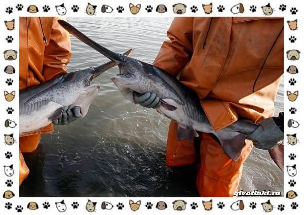 Рыба-веслонос-описание-особенности-и-среда-обитания-3