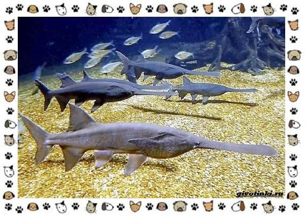 Рыба-веслонос-описание-особенности-и-среда-обитания-4