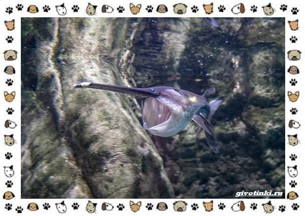 Рыба-веслонос-описание-особенности-и-среда-обитания-5