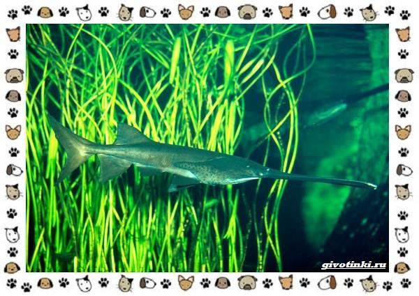 Рыба-веслонос-описание-особенности-и-среда-обитания-6