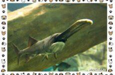 Рыба веслонос: описание, особенности и среда обитания