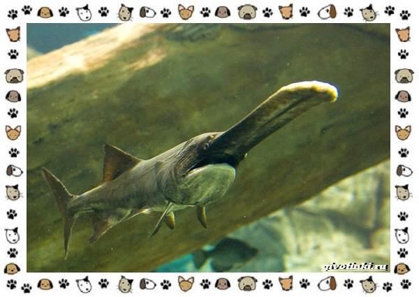 Рыба-веслонос-описание-особенности-и-среда-обитания-8