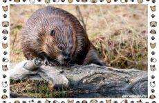 Тувинский бобр: описание, особенности и среда обитания