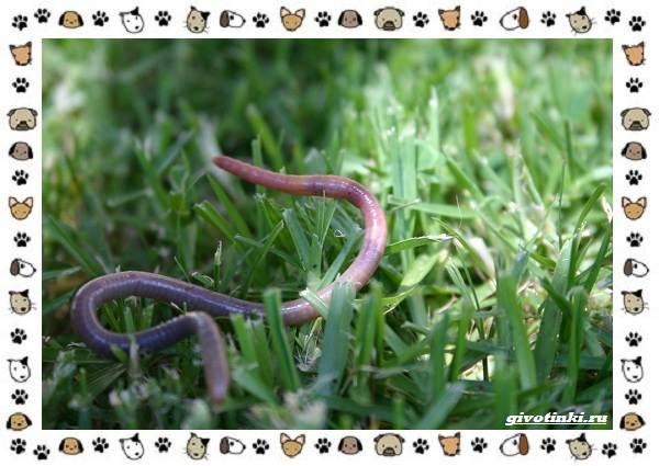 Виды-дождевых-червей-чем-они-для-нас-незаменимы-и-интересны-1