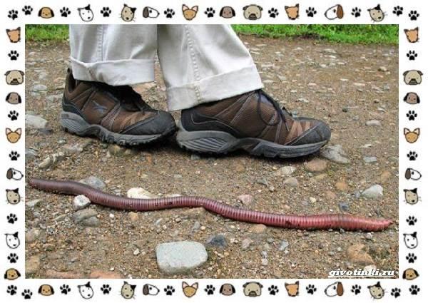 Виды-дождевых-червей-чем-они-для-нас-незаменимы-и-интересны-12