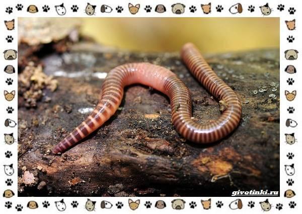 Виды-дождевых-червей-чем-они-для-нас-незаменимы-и-интересны-17