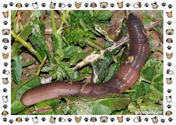 Виды-дождевых-червей-чем-они-для-нас-незаменимы-и-интересны-7