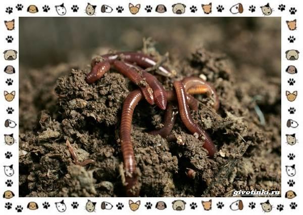 Виды-дождевых-червей-чем-они-для-нас-незаменимы-и-интересны-9