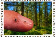 Виды клещей: безобидные потребители органики, хищники, вредители и паразиты